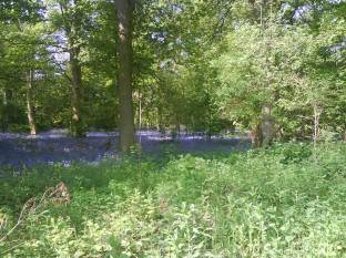 Bluebells at Tocil Woods